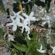 יסמין פרחוני - עצי נוי   הדר נוי משתלות