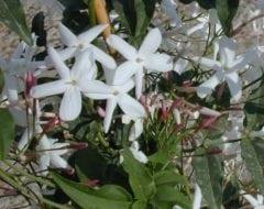 יסמין פרחוני - עצי נוי | הדר נוי משתלות