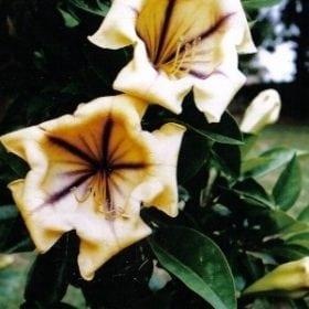 סולנדרה גדולה - עצי נוי   הדר נוי משתלות