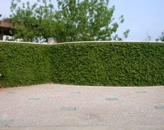 פיקוס זוחל - עצי נוי | הדר נוי משתלות