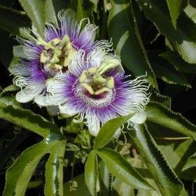 שעונית נאכלת (פסיפלורה) - עצי נוי | הדר נוי משתלות