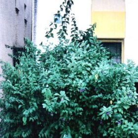 יחרומה - עצי נוי | הדר נוי משתלות