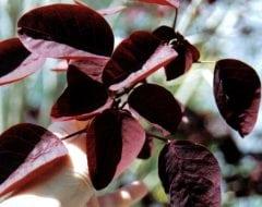 חלבלוב דמוי כותינוס - עצי נוי | הדר נוי משתלות