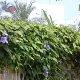 תונברגיה גדולת פרחים - עצי נוי   הדר נוי משתלות