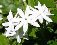 יסמין אורלאנס - עצי נוי | הדר נוי משתלות