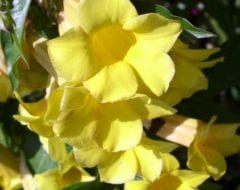 אלמנדה קתרטית - עצי נוי | הדר נוי משתלות