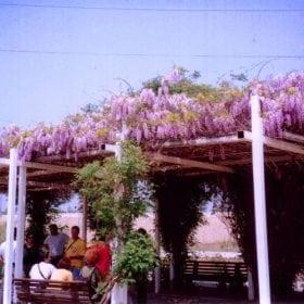 ויסטריה סינית - עצי נוי | הדר נוי משתלות