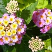 לנטנה ססגונית - עצי נוי | הדר נוי משתלות