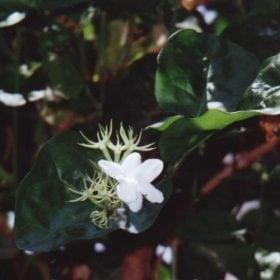 יסמין ערבי (סמבק) - עצי נוי | הדר נוי משתלות