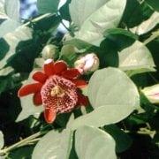 שעונית אדומה (מרובעת) - עצי נוי | הדר נוי משתלות