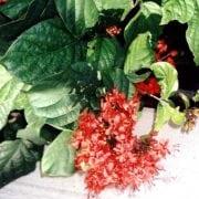 קלרודנדרון מזהיר - עצי נוי | הדר נוי משתלות