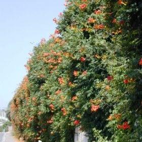 עקולית משרישה - עצי נוי | הדר נוי משתלות