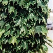 גפנית משולשת - עצי נוי   הדר נוי משתלות