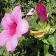 אלמנדה בלנכטי (סגולה) - עצי נוי | הדר נוי משתלות