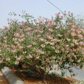 יערה אקרוטית - עצי נוי   הדר נוי משתלות