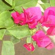 בוגנווילאה נאה - עצי נוי | הדר נוי משתלות