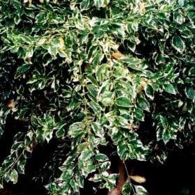 דורנטה מצויה (מגוון) - עצי נוי | הדר נוי משתלות