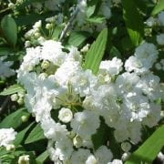 ספיראה קנטונית - עצי נוי   הדר נוי משתלות
