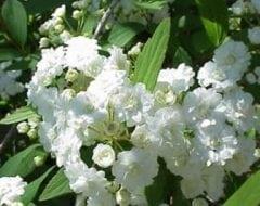 ספיראה קנטונית - עצי נוי | הדר נוי משתלות