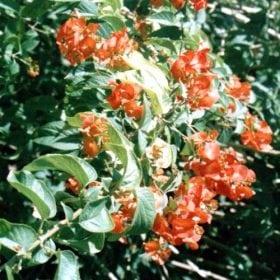 אדמום גדול גביע - עצי נוי | הדר נוי משתלות