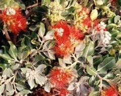 ברזילי תפוז (מטרוצידרוס) - עצי נוי | הדר נוי משתלות
