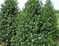 צינית מקרינה - עצי נוי | הדר נוי משתלות