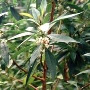 מיאופורון מחודד - עצי נוי | הדר נוי משתלות