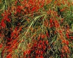 רוסליה שבטבטית - עצי נוי | הדר נוי משתלות