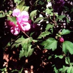 היביסקוס סורי (פרח מלא) - עצי נוי | הדר נוי משתלות