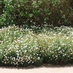 חרצית שיחית - עצי נוי | הדר נוי משתלות