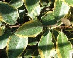 עץ השמן המנוקד - עצי נוי | הדר נוי משתלות