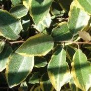 עץ השמן המנוקד (מגוון) - עצי נוי   הדר נוי משתלות