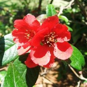 פריש יפני - עצי נוי | הדר נוי משתלות