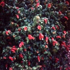 חצית הטיפין - עצי נוי | הדר נוי משתלות
