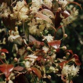 פיטנגו - עצי נוי | הדר נוי משתלות