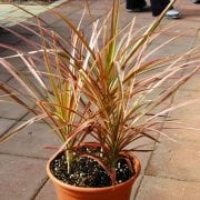 דרקונית טריקולור - עצי נוי | הדר נוי משתלות