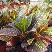 קודן מגוון - עצי נוי   הדר נוי משתלות