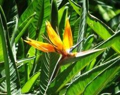 ציפור גן עדן - עצי נוי | הדר נוי משתלות