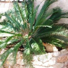 ציקס מופשל - עצי נוי | הדר נוי משתלות