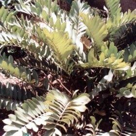 זמיה - עצי נוי | הדר נוי משתלות