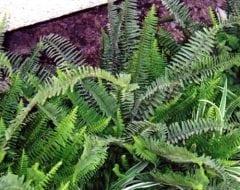 כלין כיפח - עצי נוי | הדר נוי משתלות