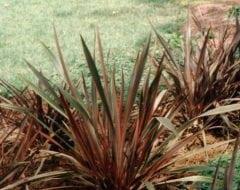 פורמיון חסון - עצי נוי | הדר נוי משתלות