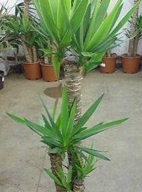יוקה פילית - עצי נוי | הדר נוי משתלות