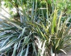 פורמיון - עצי נוי | הדר נוי משתלות
