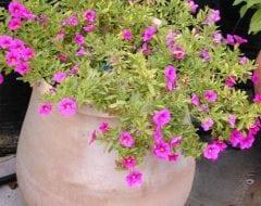 פטוניה מיני - עצי נוי | הדר נוי משתלות