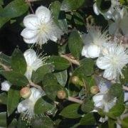 הדס מצוי (קטן עלים) - עצי נוי | הדר נוי משתלות