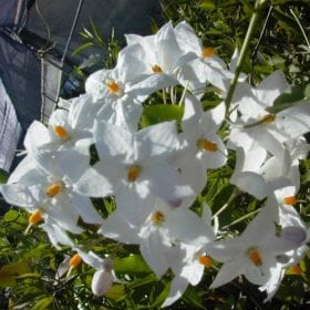 סולנום יסמיני 'לבן' - עצי נוי | הדר נוי משתלות