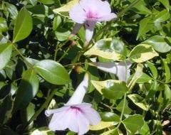 פנדוראה יסמינית 'כריזמה' - עצי נוי | הדר נוי משתלות