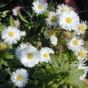 אסתר בלגיה - עצי נוי | הדר נוי משתלות