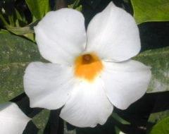 מנדוויליה בוליבית - עצי נוי | הדר נוי משתלות